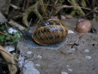 L'escargot petit gris (Helix aspersa)